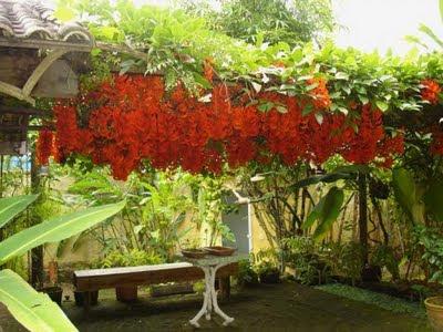 jade vermelha trepadeira pergolado
